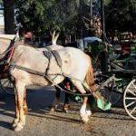 El Jadida : Le bon vieux temps des balades en calèches (koutchi pour les jdidis)