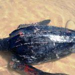 El Jadida : Une tortue marine géante rejetée par la mer sur la côte d'Oualidia