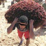 El Jadida : Les professionnels du ramassage  de l'algue rouge accusés de non-respect à la période du repos biologique