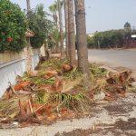 El-Jadida: l'élagage des palmiers, ne fait pas que des heureux…