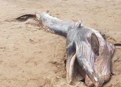 El-Jadida : Un dauphin rejeté par la mer.